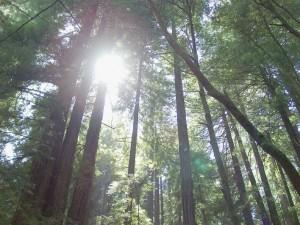 redwoodforest 300x225 Inner Wisdom